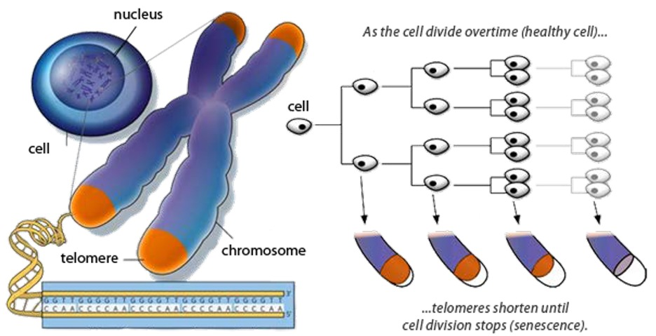Telomeres and Aging - Telomere lengthening has the potential to reverse aging